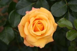 Rose_Amber_Flush_20070601